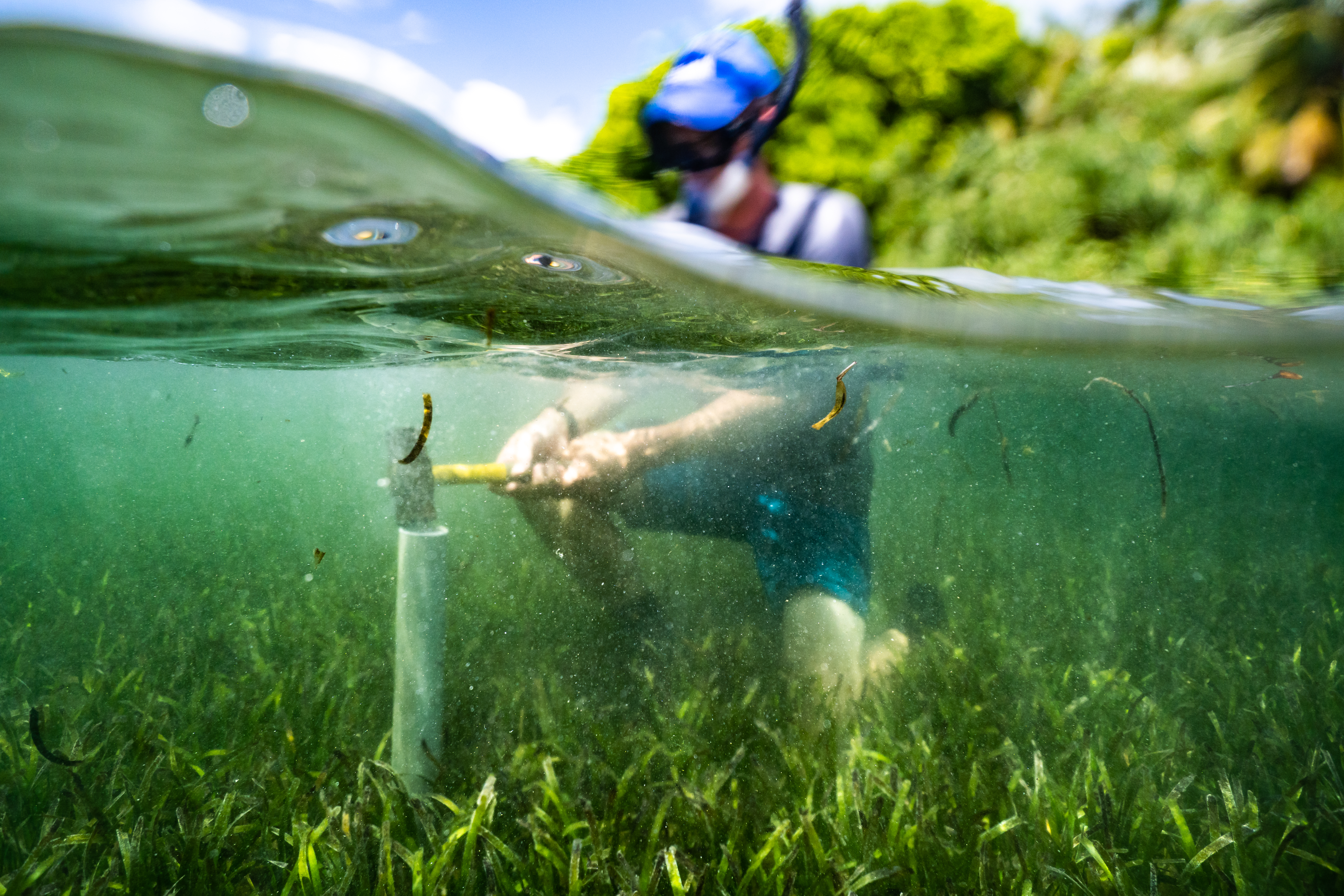 Scientist collecting soil core from seagrass meadow. Blue carbon Lab